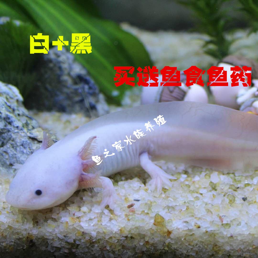 六角恐龙鱼蝾螈淡水鱼金鱼火龙鱼霸王鱼观赏鱼宠物锦鲤六角龙活体