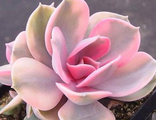 多肉植物彩虹 紫珍珠锦 双头 7cm左右多肉不是肉实拍正版非药锦