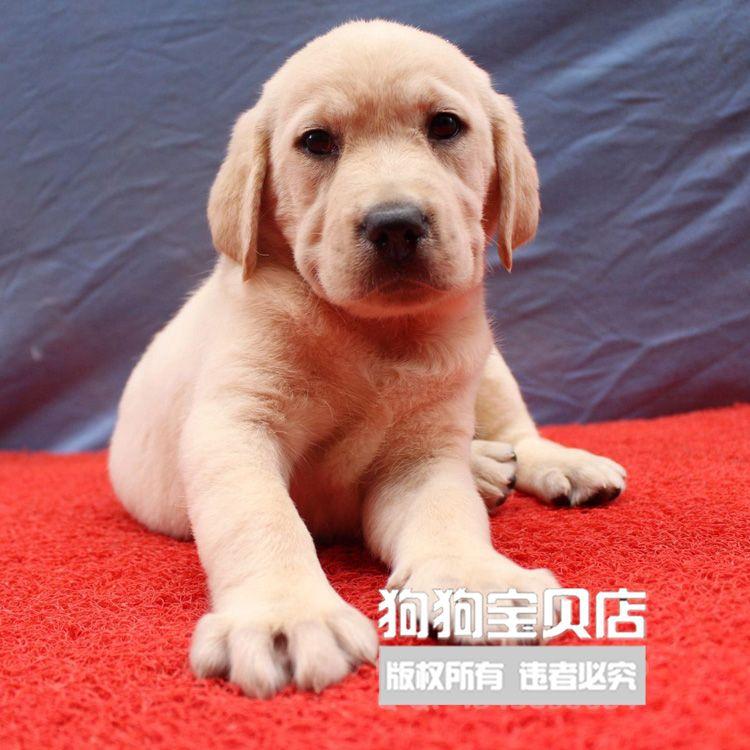拉布拉多幼犬纯种金毛狗狗活体宠物狗拉不拉多家养健康导盲犬023