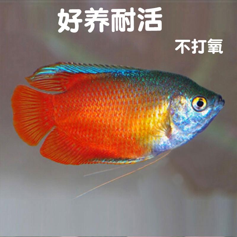 血丽丽活体草缸鱼淡水鱼新手练手鱼宠物鱼好养耐活不打氧气观赏鱼
