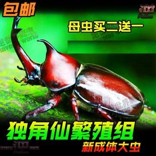 彩虹锹甲成虫锹形虫幼虫L1L2L3活体宠物甲虫独角仙 兜虫 锹甲金龟