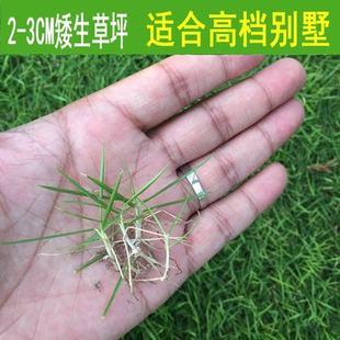 草坪种子狗牙根进口四季青护坡草百慕大草种籽绿化草皮种子