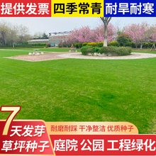 Lawn seed, four season green slope protection grass, fur seed, no repair, bermudagrass, Manila tall fescue, ryegrass seed