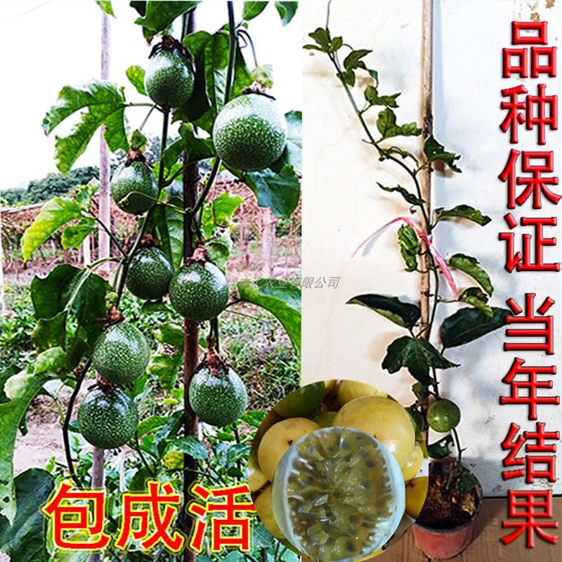 黄金百香果苗四季南方种植爬藤满天星百香果树苗大苗盆栽当年结果