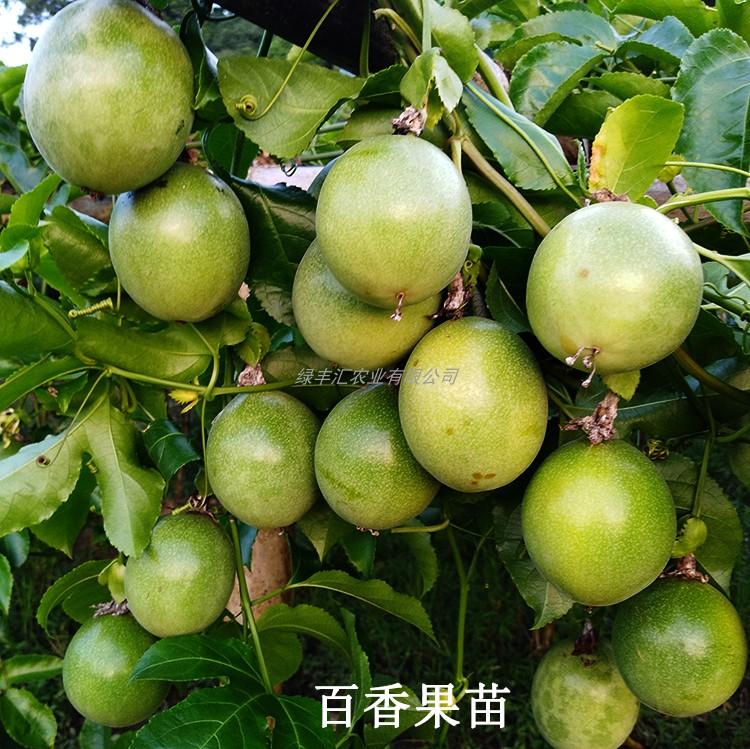 黄金百香果苗满天星绿皮果树苗大苗南方种四季当年结果盆栽阳台
