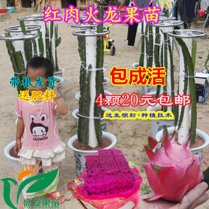 火龙果苗红肉火龙果苗红心火龙果苗火龙果苗盆栽庭院4颗20元包邮
