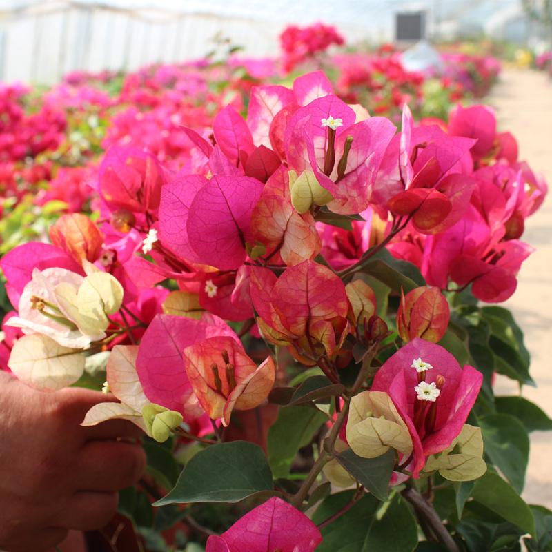 印度画报三角梅盆栽苗重瓣带花带盆发货巴西四季爬藤室内花卉老桩