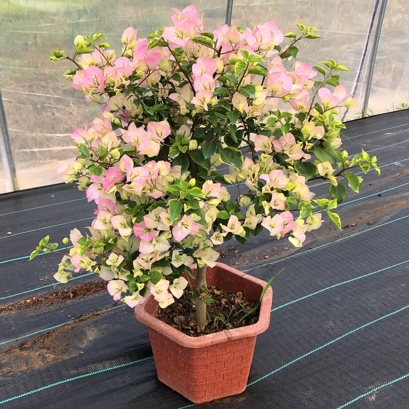 绿叶樱花三角梅盆栽苗重瓣带花带盆发货巴西四季爬藤室内花卉老桩
