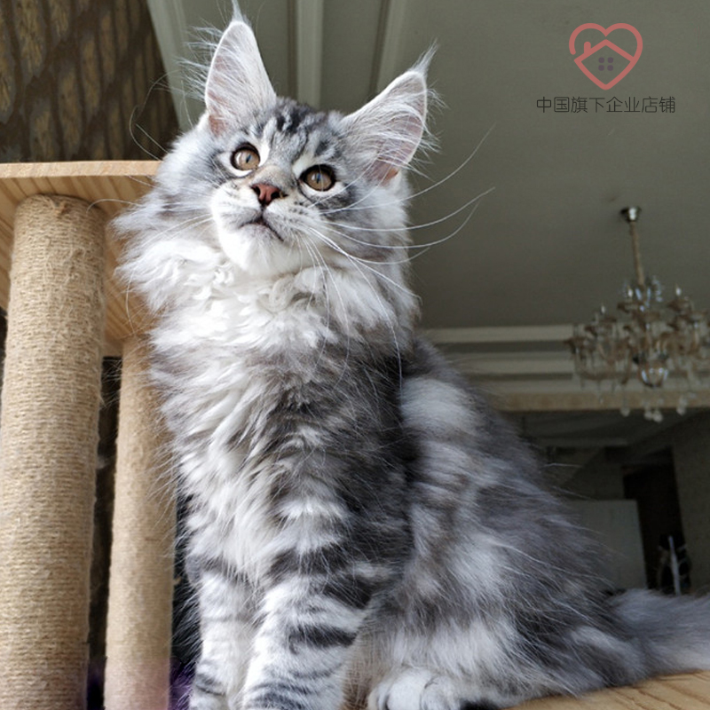 Maine purebred giant kitten for sale live Silver Tiger spotted cubs large Kuhn pet cat Norwegian Forest