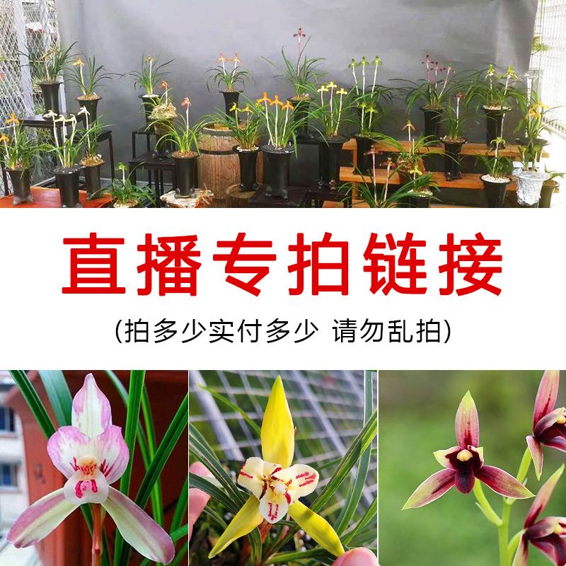 四季折々の花を生放送します。濃い香りがするタイプの蘭の苗はつぼみのない古い種の室内の花や緑の植物が育てやすいです。