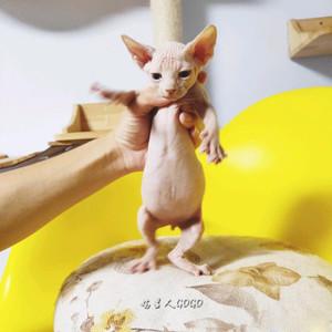 加拿大无毛猫幼猫斯芬克斯猫活幼体小猫咪活物宠物猫幼崽短腿出售