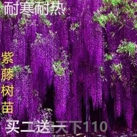 紫藤树苗老桩盆栽植物室内外好养庭院大盆花卉花木攀爬萝紫藤萝紫图片