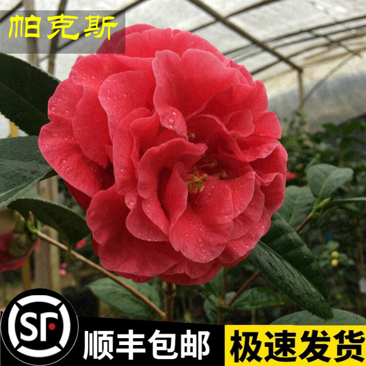 Mr. parks Big Apple mountain Camellia seedlings big red big flower peony type Fujian four seasons spring potted with bud