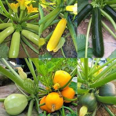 西葫芦种籽苗葫芦秧苗角瓜四季春季冬季农家各种瓜类蔬菜种子种孑