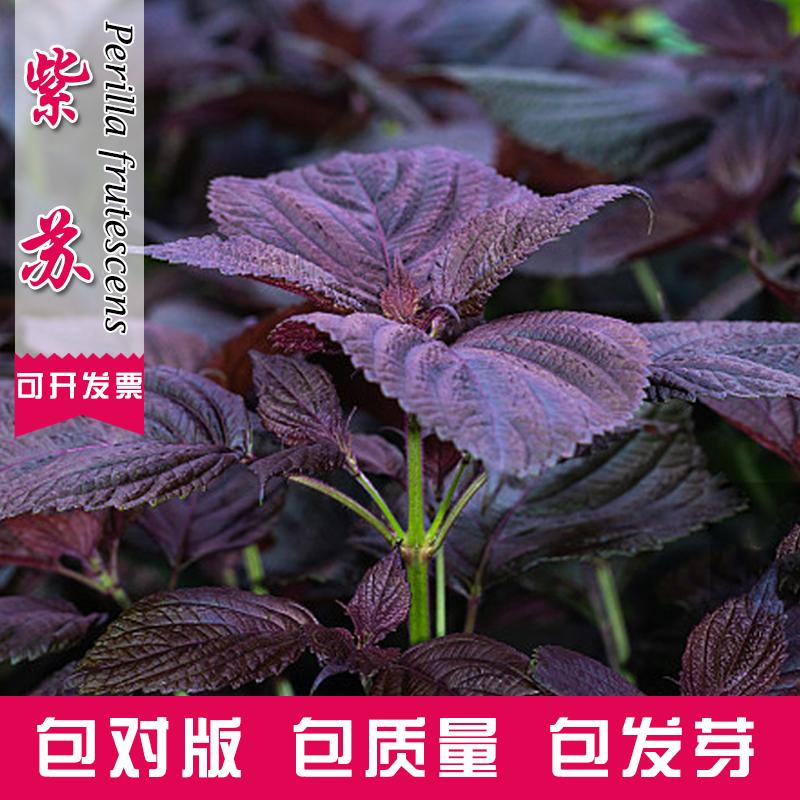 紫叶苏紫苏种子四季播食用香料室外农家田园蔬菜种子阳台盆栽菜籽