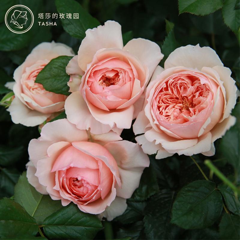 塔莎的玫瑰园灌木月季花苗盆栽花卉真宙莫奈玫瑰大花庭院四季天荷