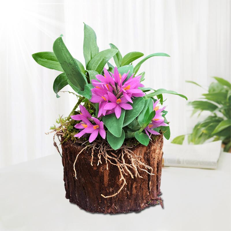【红莲石斛树桩】 带木头发货 非 铁皮石斛苗鲜条 枫斗铁皮石斛花