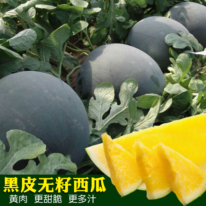 Black skin yellow flesh seedless watermelon seeds super sweet giant four seasons spring lazy Southern seed vegetable seeds