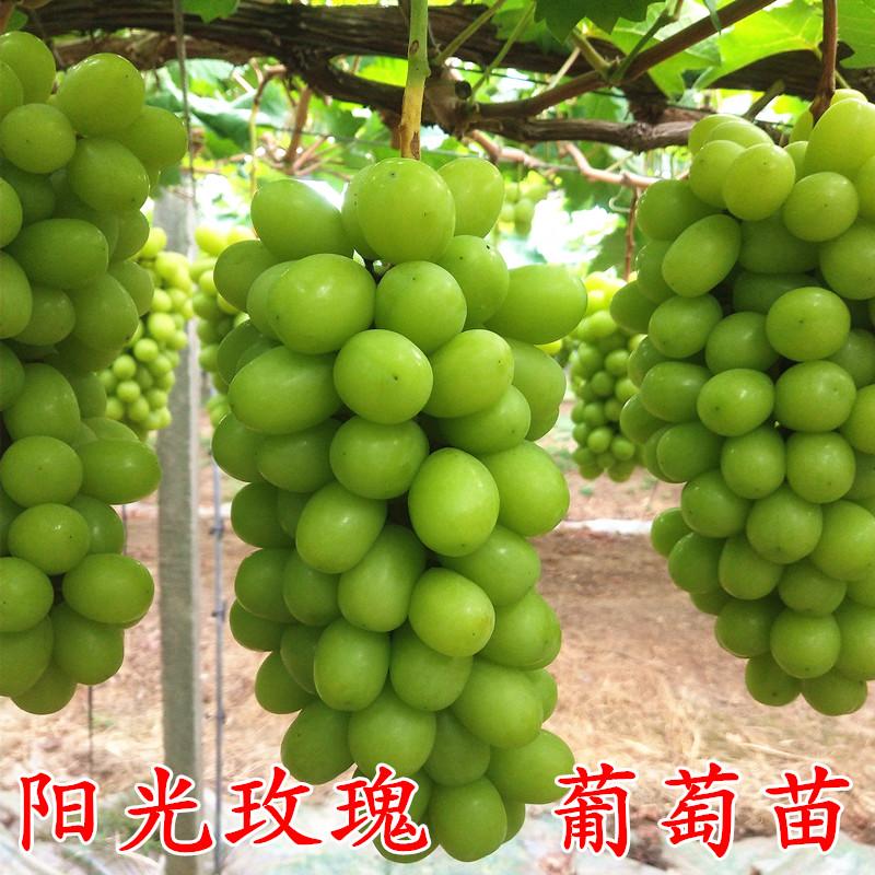 サファイアのブドウの苗木の日光のバラのブドウの苗木の鉢植えは藤の南方の北方に登って植えます。