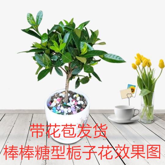 小叶牡丹栀子花盆栽带花苞浓香型花卉室内栀子花苗四季开花植物图片