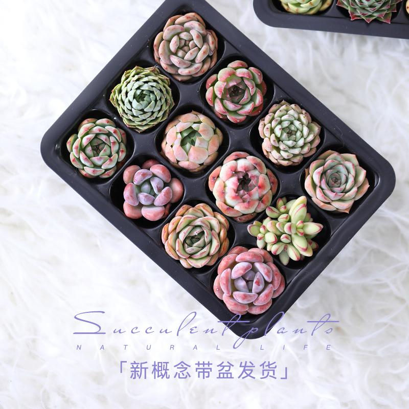 锦圃 12颗多肉植物带托盘萌肉肉组合套餐花卉盆多肉种好发货