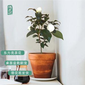 四季名贵山茶花带苞 东方亮 庭院花卉盆栽绿植物树苗室内客厅好养