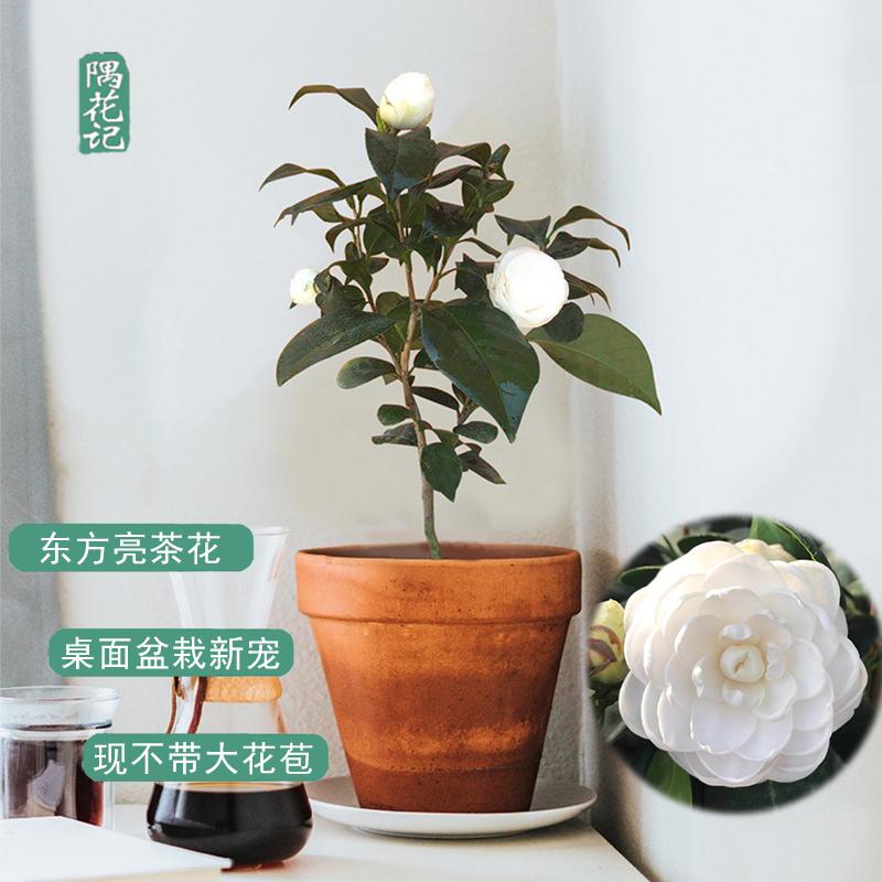名贵山茶花带苞 东方亮 庭院花卉盆栽绿植物树苗室内客厅好养