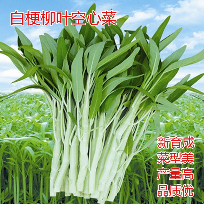 白梗柳叶空心菜种子庭院白骨空心菜蔬菜籽阳台盆栽四季蔬菜种孑