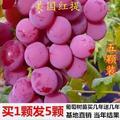 葡萄树苗红提无籽葡萄苗果树盆栽地栽庭院种植夏黑无核当年结果
