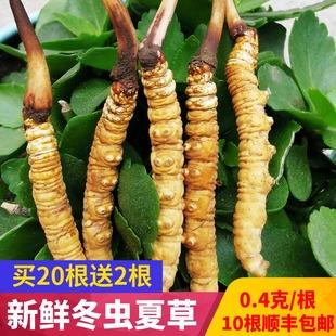 【4克288元】非西藏那曲新鲜冬虫夏草0.4克/根10根装青海果洛雪山