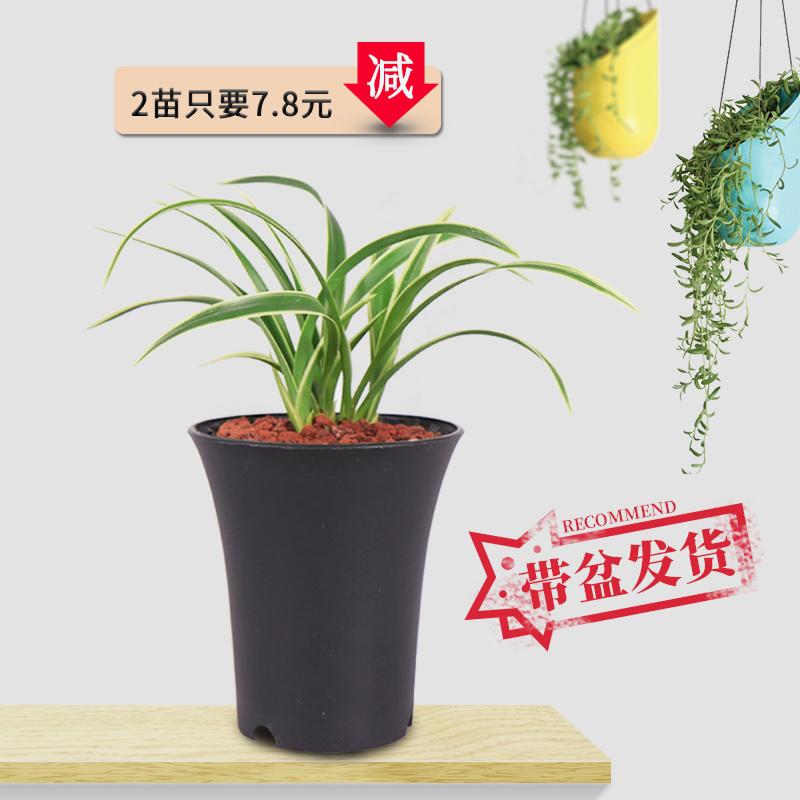 12月02日最新优惠金凤凰迷你金边矮种四季兰盆栽兰花