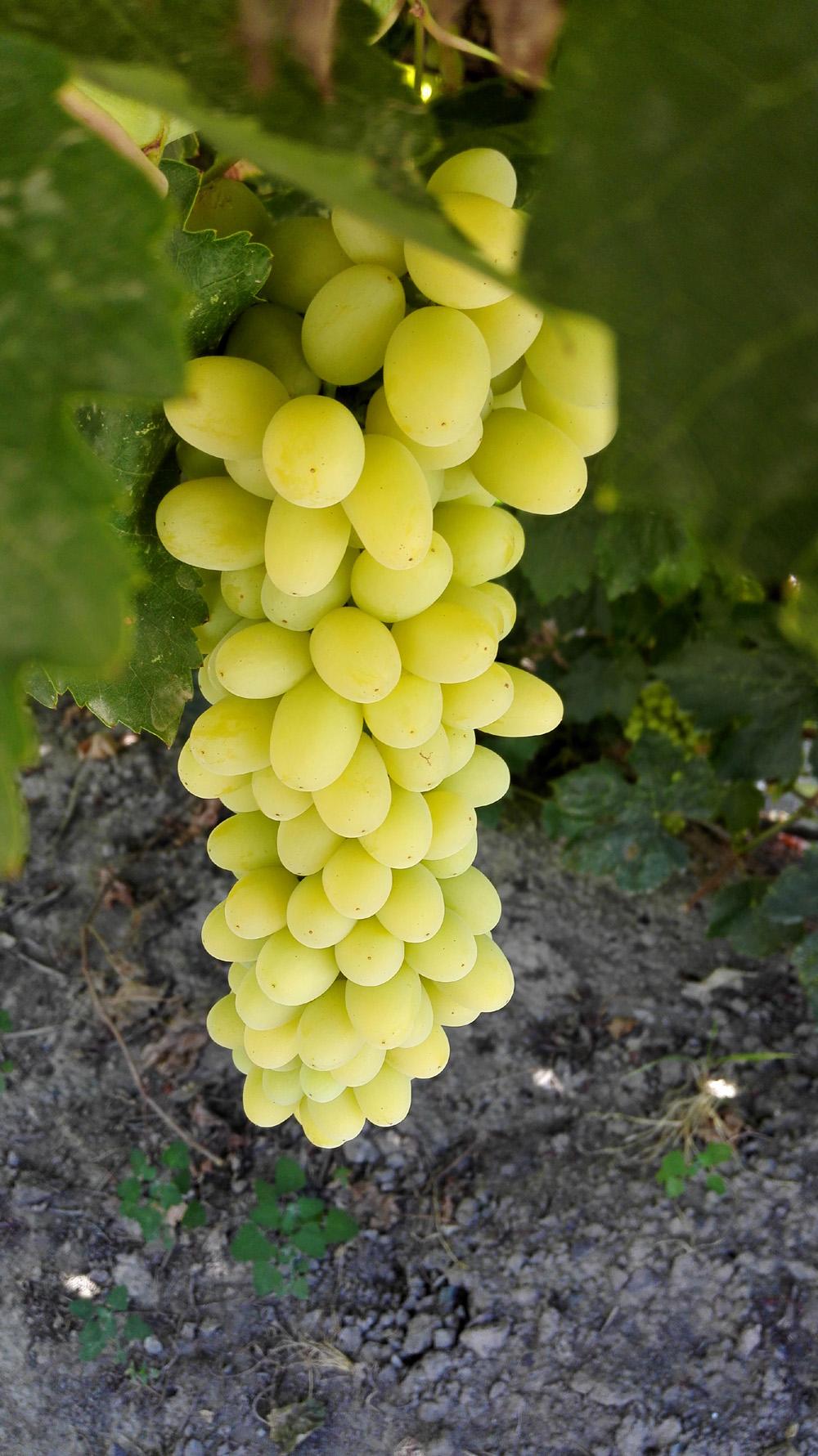新疆吐鲁番无籽葡萄 无核白葡萄绿葡萄