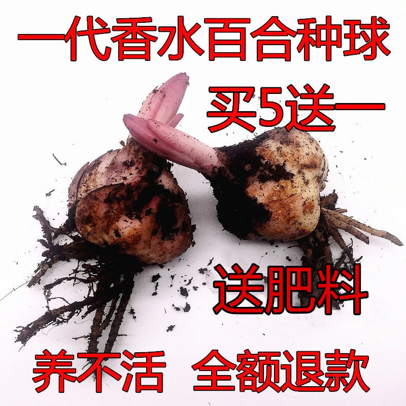 Imported perfume, lily flower seeds, ball belt sprouts, indoor and outdoor seasons, Asian dwarf potted plants, cold resistant flowers and plants.