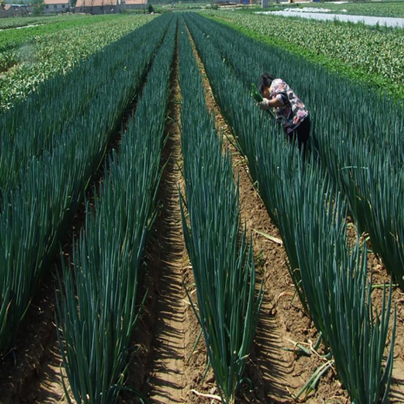 大葱新鲜5斤装山东铁杆大葱蘸酱长葱蔬菜农产品去叶葱白包邮
