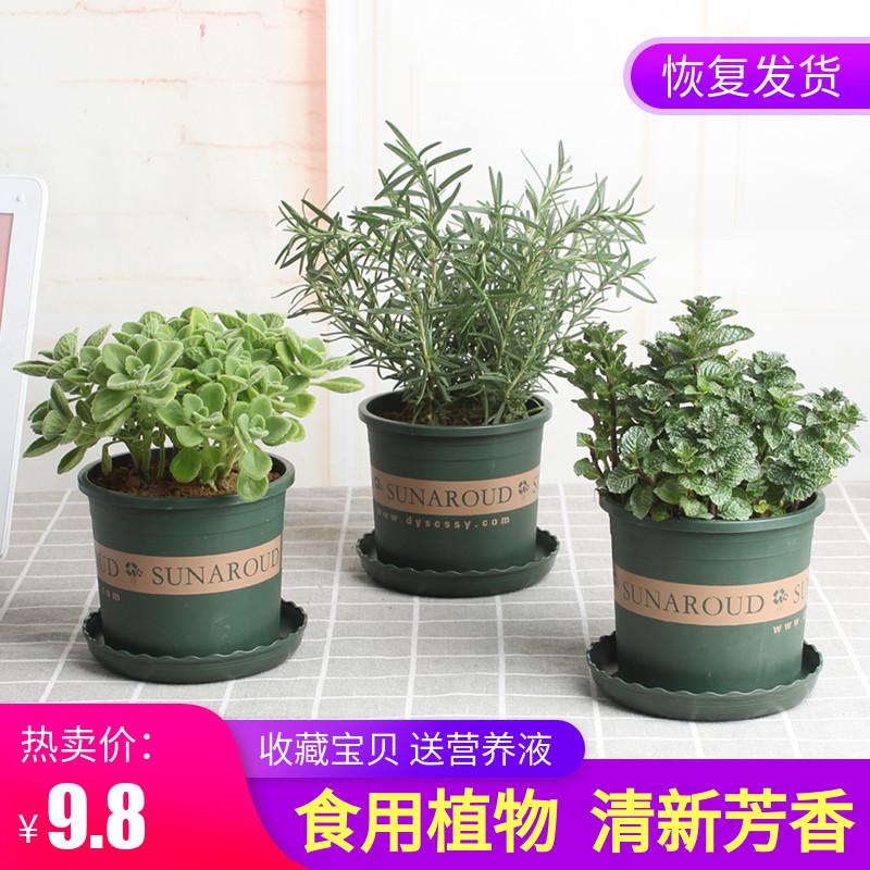 迷迭香盆栽可食用薄荷室内绿植新鲜植物牛排西餐调料碰碰香一抹香
