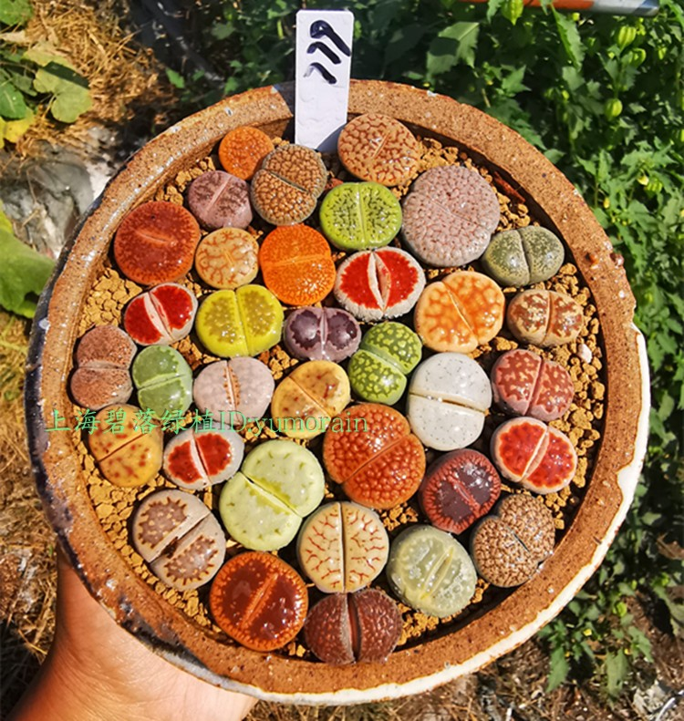Exquisite set set of raw stone flower multicolored PP maohanni Ruby succulent plant green one thing one pat package
