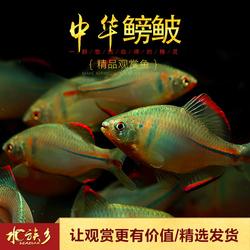 中华彩石鳑鲏越南鱊旁皮鱼原生冷水鱼无需加温五彩鱼水草缸小型鱼