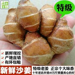 正宗广东茂名高州老沙姜新鲜包邮香山奈干生粉种子苗白切鸡调配料