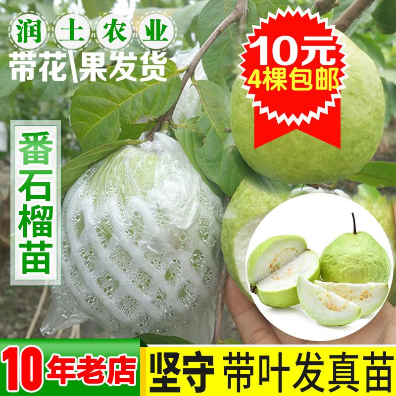 番石榴苗 红心西瓜芭乐树苗 正宗台湾四季珍珠番石榴苗 当年结果