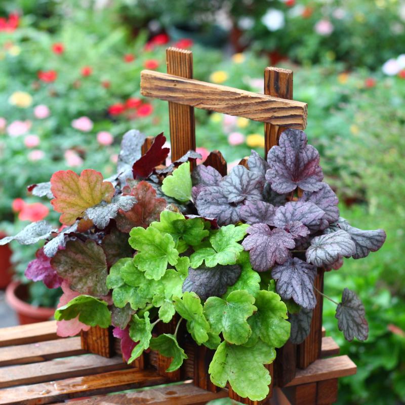 矾根花苗盆栽 室外庭院花园调色板绿植 耐寒耐冻植物盆栽花卉