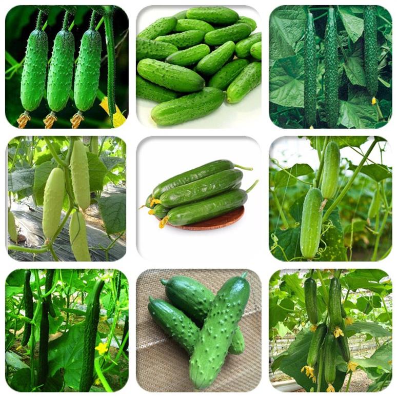摘不败水果黄瓜种子 小康村黄瓜种子 口感好品质好清香味浓品质优