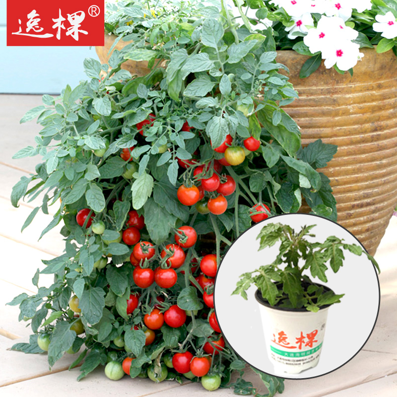 6号瀑布番茄苗圣女果种子苗西红柿苗四季种春季盆栽庭院阳台水果