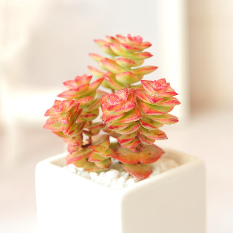 十字星锦  多肉植物组合内盆种办公室植物室栽花卉绿植创多肉植物