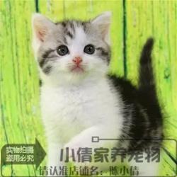 出售纯种美短加白起司猫银虎斑猫活体幼猫自家繁殖宠物猫折耳猫x