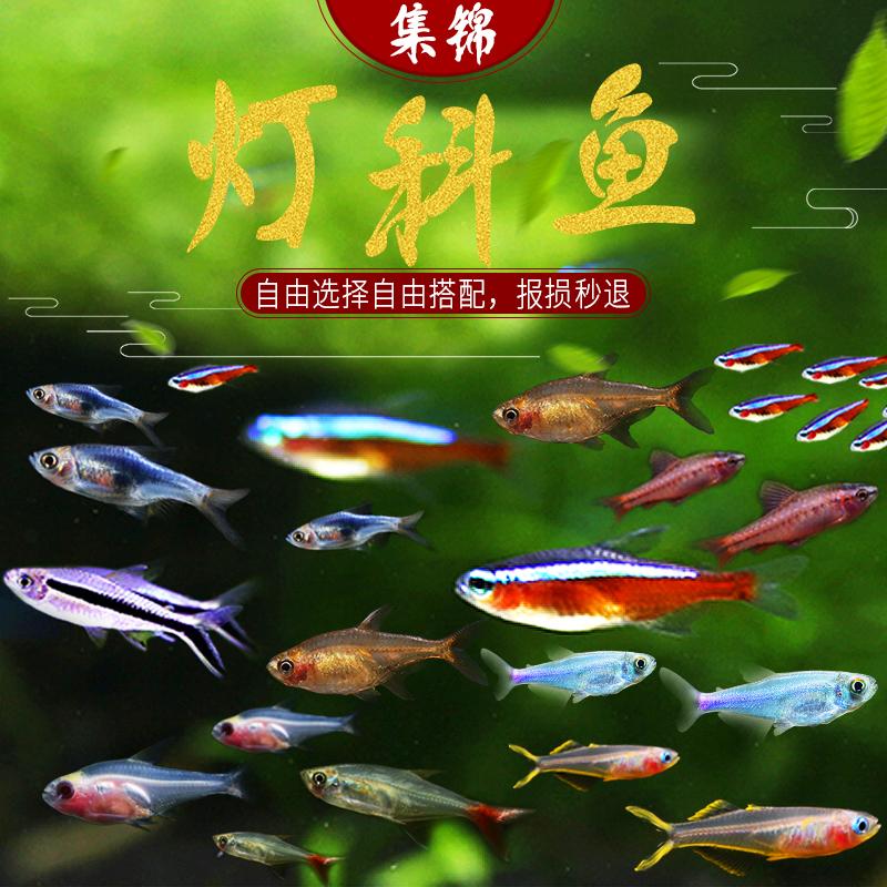 热带鱼观赏鱼小型灯科鱼红绿灯三角灯喷火灯企鹅灯樱桃灯群游灯鱼