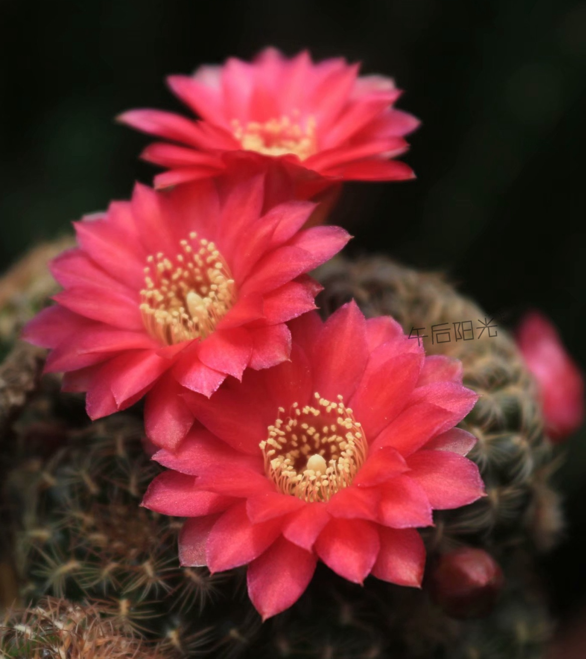Red agate multicolor Ruby hybrid yougoubaoshan cactus balcony green plants