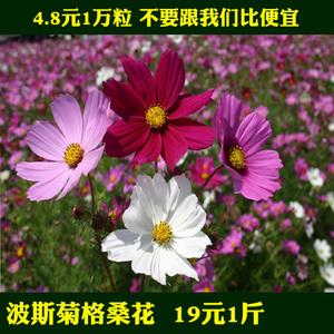 四季播波斯菊格桑花种大全野花组合室内外易活四季春播菊花种子