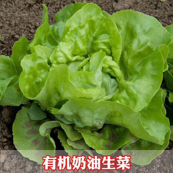 法国奶油生菜种子口感好蔬菜沙拉 肉厚四季播 可观赏果蔬青菜种子
