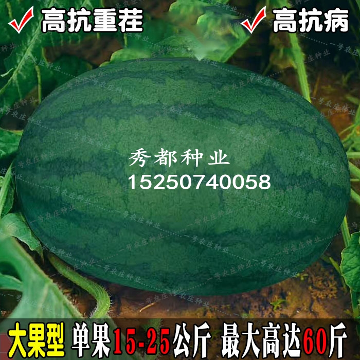 Giant watermelon seed with resistance to continuous cropping and disease resistance