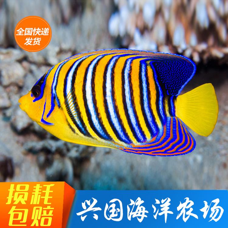 金毛巾鱼 皇帝神仙鱼 活体海水鱼大型海缸观赏宠物鱼快递包活